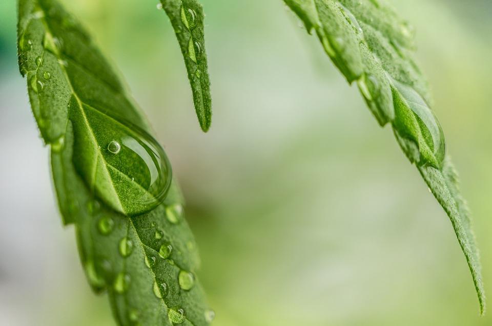 cannabis układ endokannabinoidowy